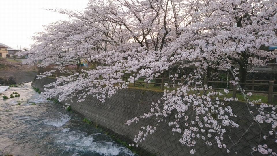 180412 blogsakura5.jpg